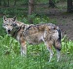 Wolf: Grüne kritisieren Bearbeitungsstau beim Herdenschutz